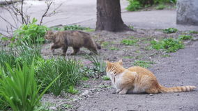 Two red and gray homeless cats on the street in the park. slow motion. In 96 fps. Two Stray gray, and red cats sitting on the ground in the City Street stock video