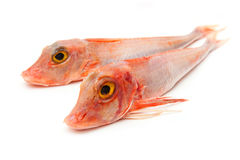 Two red gurnard fish Stock Photography