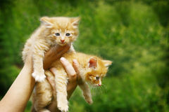 Two red haired kittens. In woman hands Royalty Free Stock Image