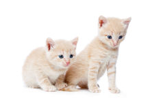 Two red-haired kittens. Royalty Free Stock Images