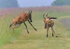Two Red Hartebeest bulls fighting Royalty Free Stock Photo