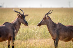 Two Red hartebeest looking at each other. Stock Image
