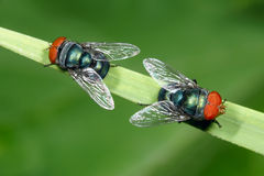 Two red-head flies. On grass leaf. Scientific name: Calliphora vicina royalty free stock photography