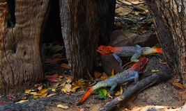 Two red-headed rock agamas playing between leavess. Two red-headed rock agamas agama agama playing between leave. Location Kuneneriver, namibia. Both are bright stock photography