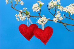 Two red hearts hanging from pear tree branch with blossoms royalty free stock photos