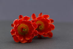 Two red hedgehog cactus flowers on gray background Stock Photos