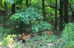 Two Red Hens in the Forest Stock Photo