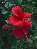 Two Red Hibiscus Flower Blossom in Garden. Hibiscus rosasinensis is national flower of malaysia stock images