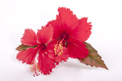 Two Red Hibiscus Flowers with Autumn Colored Leaves Stock Photo