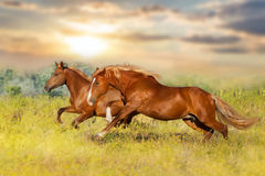 Two red horse Stock Images