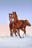 Two red horse run Royalty Free Stock Photos