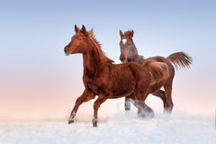 Two red horse run Stock Photo