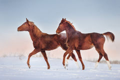 Two red horse run Royalty Free Stock Photo