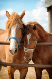 Two red horses. Near fence Stock Images