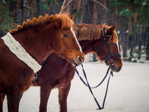 Two red horses Royalty Free Stock Image