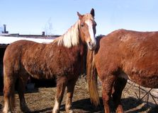 Two red horses walking in a paddock in winter on a farm in a Russian village stock photos