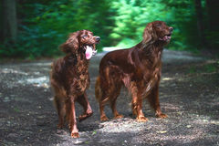 Two Red Irish Setters dogs in the forest Royalty Free Stock Photos