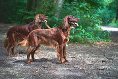 Two Red Irish Setters dogs in the forest Royalty Free Stock Image
