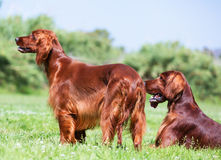 Two Red Irish Setters Royalty Free Stock Photography