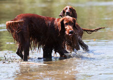 Two Red Irish Setters standing in water Stock Images