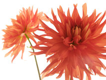 Two red isolated dahlias Royalty Free Stock Photo
