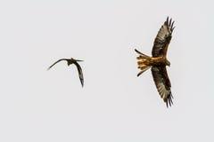 Two red kites or milvus milvus Stock Photo