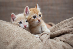 Two red kitten Stock Image