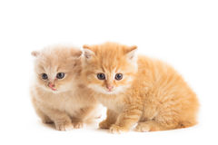 Two red kittens Royalty Free Stock Image