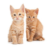 Two red kittens. On a white isolated background look ahead Stock Photo