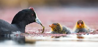 Two Red-knobbed coot chicks are fed small fish by mother to gain strength stock images