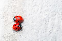 Two Red Ladybirds Facing Opposite Directions on White Stone Surf. A pair of red Ladybirds with black spots, facing in opposite directions on a rough, white stone royalty free stock image