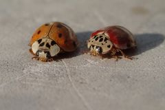 Two red ladybirds waiting for a photo stock images
