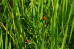 Two red ladybugs in green grass of summer meadow Stock Image