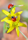 Two red ladybugs. On yellow flowers   in natural background Stock Image