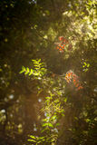 Two red leafs in sun flare in deep forest. Where sun streaks creaps in Royalty Free Stock Photos