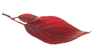Two red leaves dogwood. On white background Royalty Free Stock Images