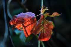 Red leaves. Two red leaves in the forest backlit by the sun show shadows from other plants. The leaves seem to glow with the sunlight stock image