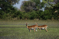 Two Red Lechwe antelopes. Red Lechwe grazing in the wetlands of the Okavango Delta, Botswana Stock Photos