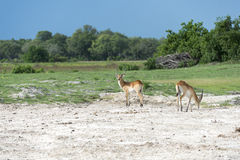 Two Red Lechwe's Royalty Free Stock Photos