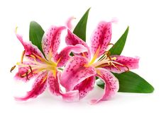 Two red lilies. stock photo