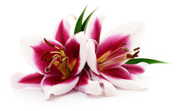 Two red lilies. Two red lilies on a white background Stock Photo