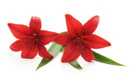 Two red lilies. Two red lilies on a white background Royalty Free Stock Photo