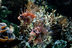Two Red Lionfish (Pterois volitans) Royalty Free Stock Image