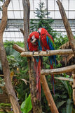 Two red macaw parrot sitting on a branch. Stock Photography
