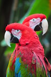 Two red macaw parrots Stock Photography
