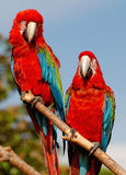 Two red macaw parrots on one branch. Two parrots on one branch, sitting together looking into camera Stock Images