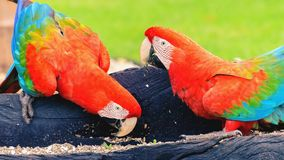 Two red macaws feeding of seeds. Bird from Brazil, also known as Arara Vermelha Stock Photo