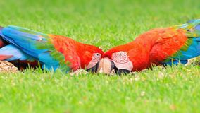 Two red macaws feeding of seeds on the ground. Bird from Brazil, also known as Arara Vermelha Stock Photography