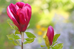 Two red magnolia buds. Against the blurred floral background. Shallow depth of field, focus on the buds Stock Photo
