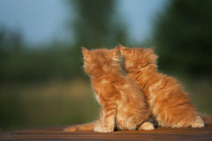 Two red maine coon kittens Royalty Free Stock Photo